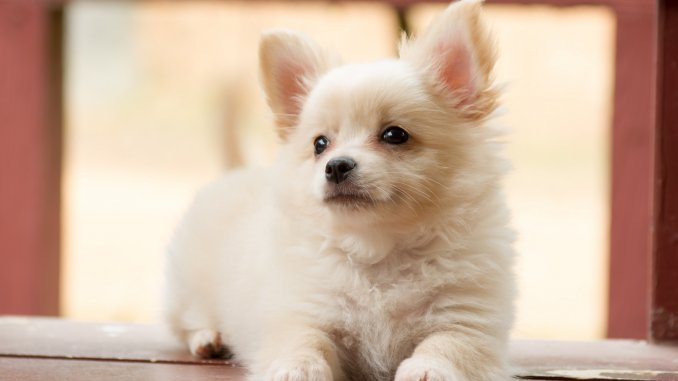 Shih Tzu Chihuahua Mix 5 Must Read Facts Cover