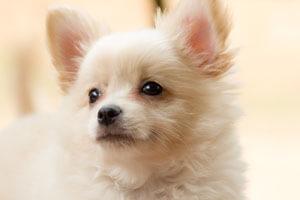 Shih Tzu Chihuahua Mix