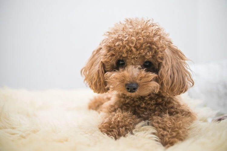 A Bichon Poodle