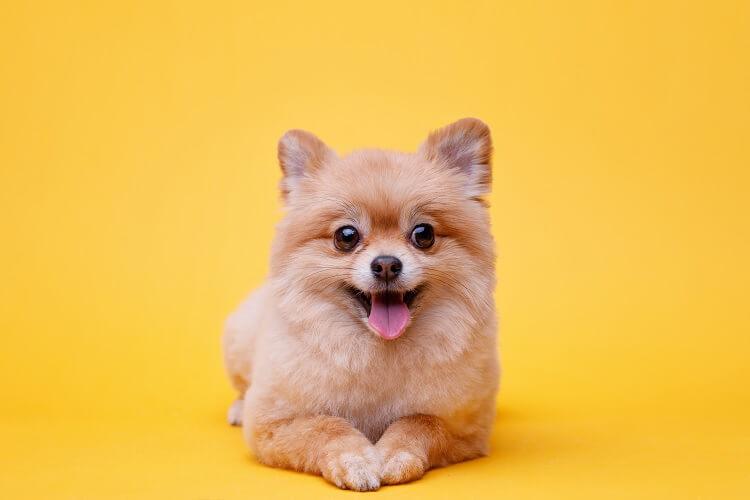 A Teacup Pomeranian