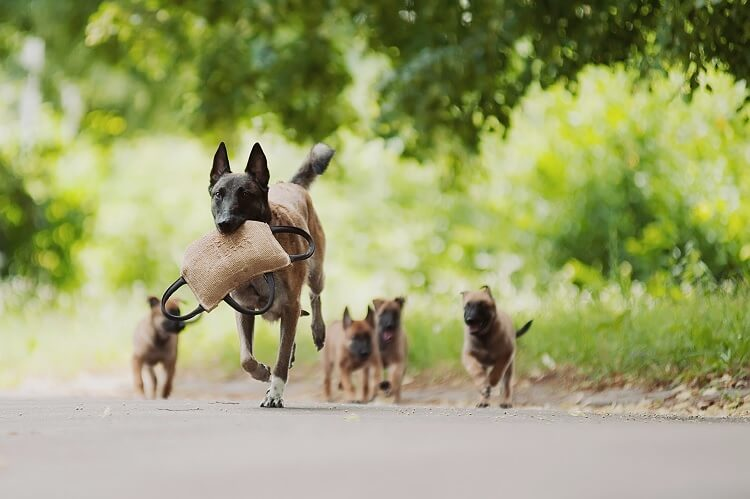 Belgian Malinois With Puppies
