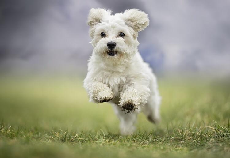 Bichon Poodle Running
