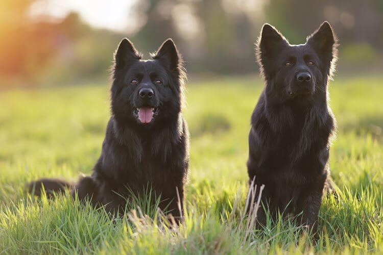 Black Long Haired German Shepherd