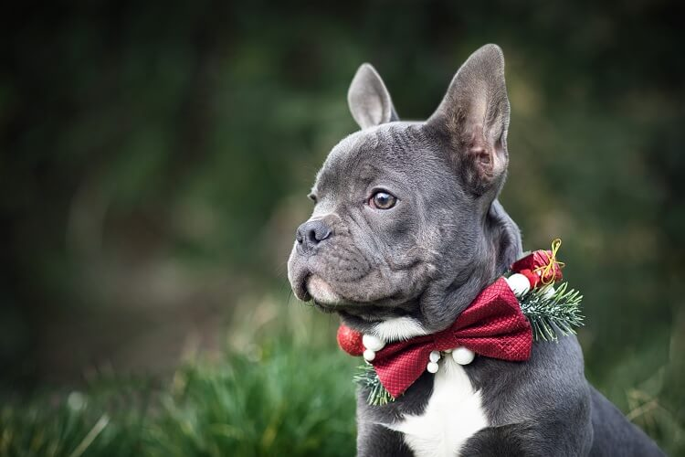 Blue French Bulldog Dressed Up