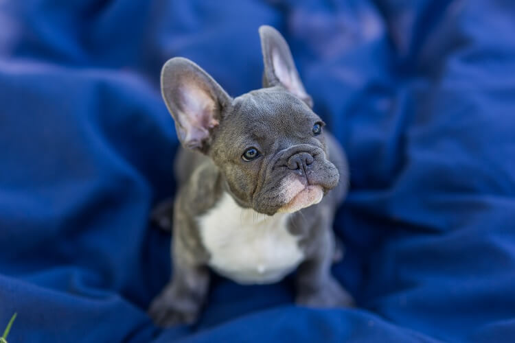 Blue Frenchie