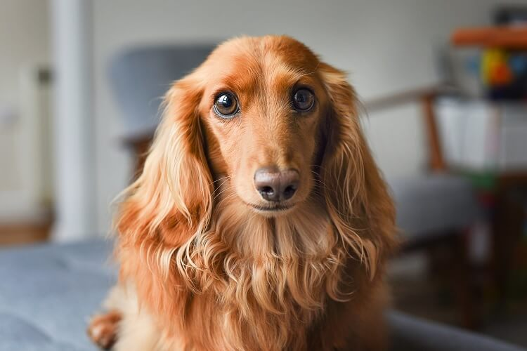 Long Haired Dachshund What To Know