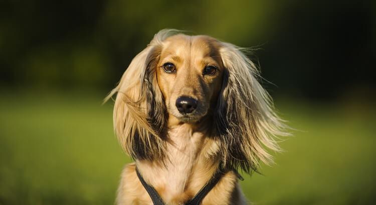 Dachshund Long Hair