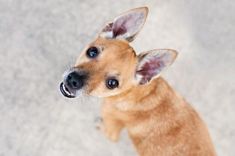 Deer Head Chihuahua Face