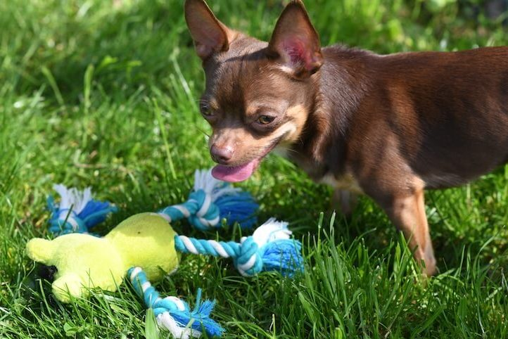 Deer Head Chihuahua Playing
