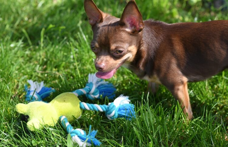 Deer Head Chihuahua Playing