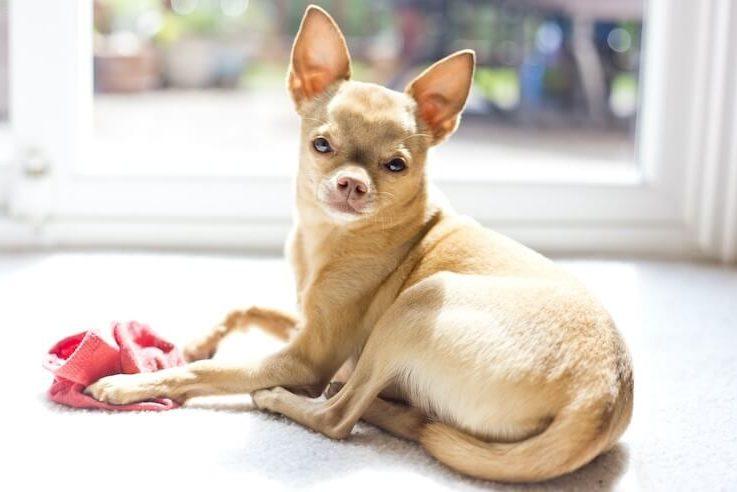 Deer Head Chihuahua Portrait