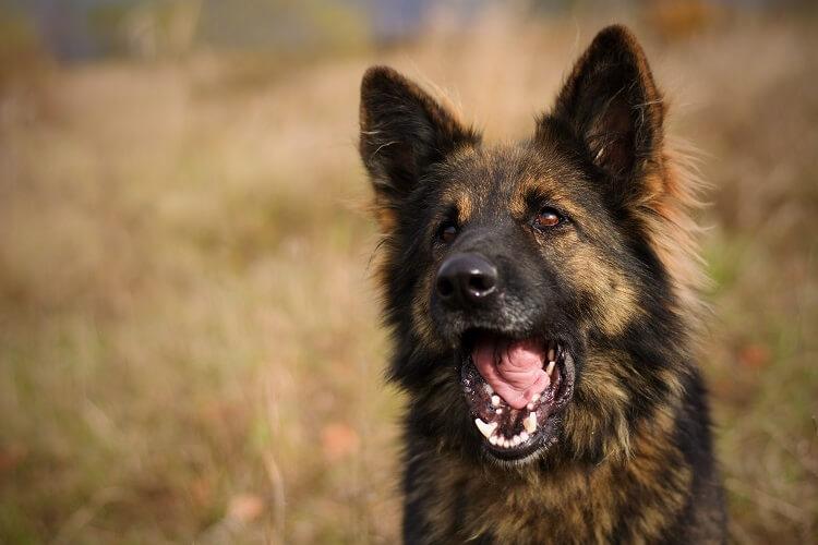 Furry German Shepherd