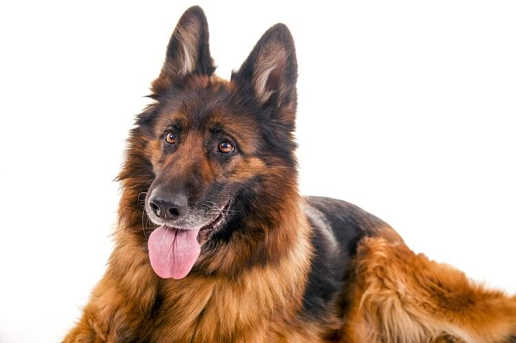 Long Haired GSD Close Up