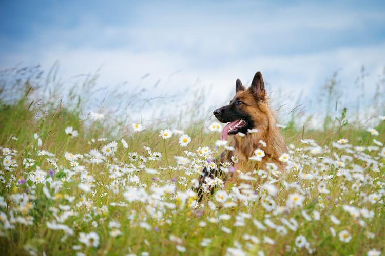Long Haired German Shepherd In Field