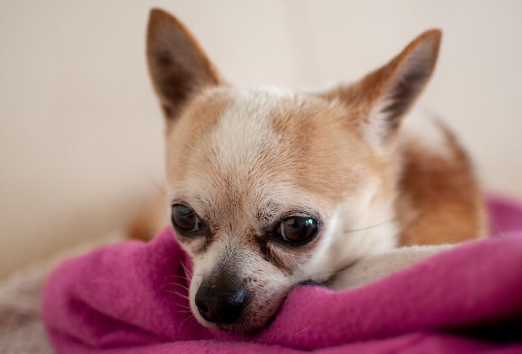 Old Deer Head Chihuahua Dog