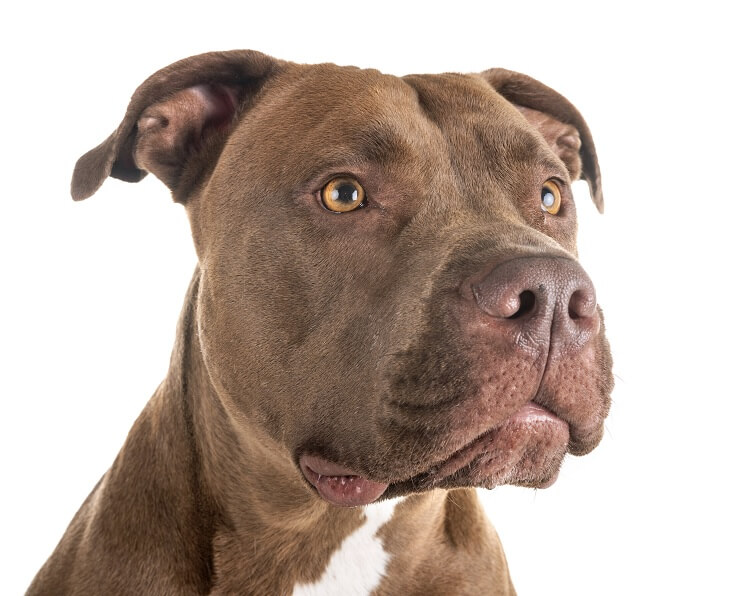 Red Nose Pitbull Headshot