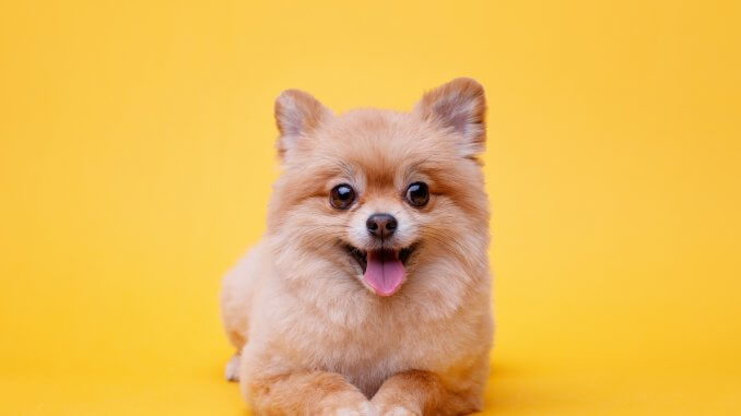 Teacup Pomeranian Guide What To Know Before Buying Cover