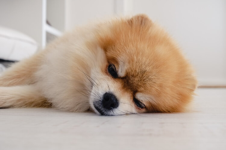 Teacup Pomeranian Sleeping