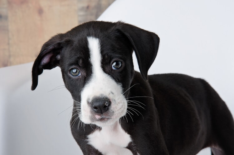 Lab Pit Mix Puppy
