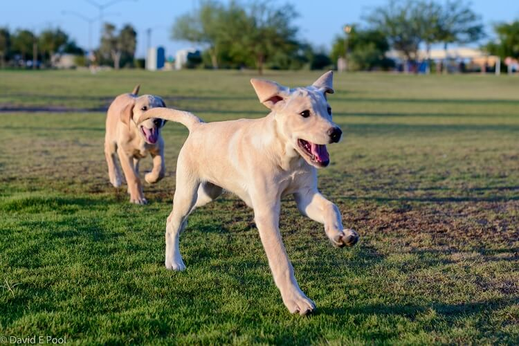 Lab Pitbull Mixes