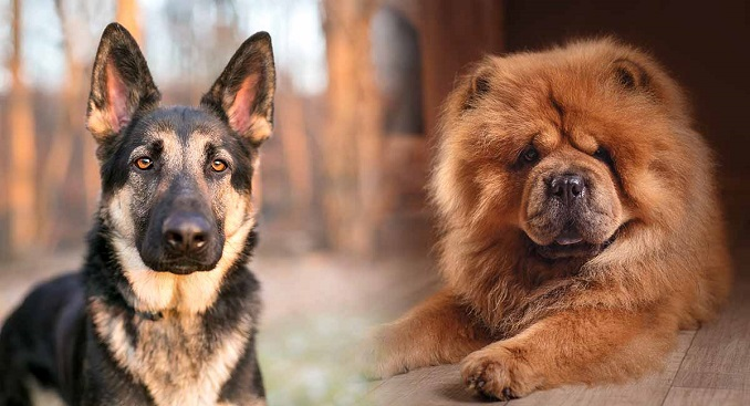 German Shepherd and Chow Chow side-by-side
