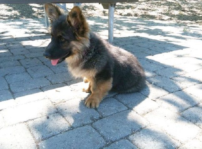 Corgi and German Shepherd mix puppy
