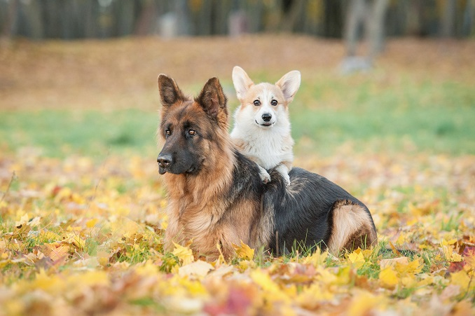 A German Shepherd and a Corgi sitting together on fallen leaves