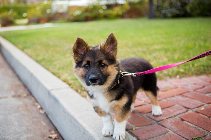 Corman Shepherd puppy