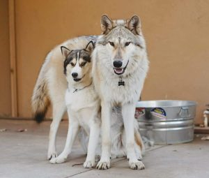 A wolf and a husky side by side comparison